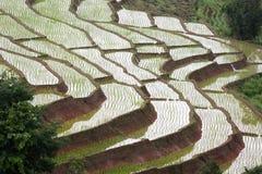 年轻米在稻田增长 库存图片