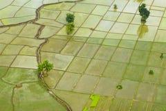 年轻米在稻田增长 免版税库存图片