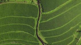 米大阳台寄生虫视图 乡下领域的绿色米种植园在亚洲村庄空中风景 种田和 股票视频