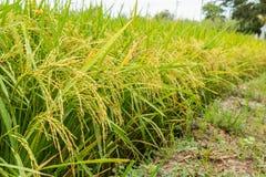 米好收获领域稻  库存照片