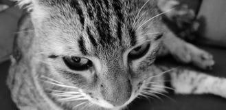 米娅来una tigre 库存照片