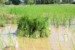 米幼木。 免版税库存照片