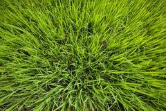 米幼木准备好种植在米领域 库存照片
