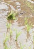 米幼木在草甸 库存图片