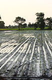 米幼木移植 库存图片