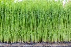米幼木,树苗种植 库存图片