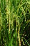 米庄稼 免版税库存图片