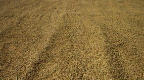 米播种太阳干燥 库存照片