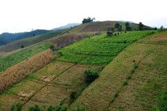 米收获步骤。 免版税图库摄影