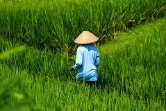 米收获 免版税库存图片