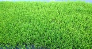 年轻米新芽看法准备好对生长在米领域 库存照片