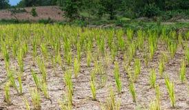 米树和旱田 免版税库存照片