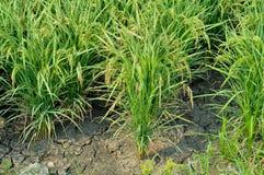 米树在农场 库存照片