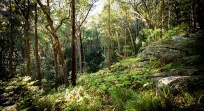 贾米森谷的湿sclerophyll森林,蓝山山脉, NSW,澳大利亚 库存照片
