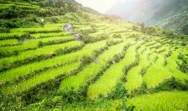 米的绿色领域在尼泊尔 图库摄影
