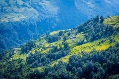 米的绿色领域在尼泊尔 库存照片