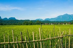 米的耳朵在稻田的 免版税库存照片