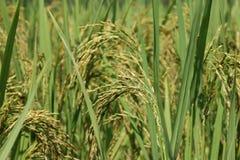 米的绿色耳朵在水稻领域的 免版税图库摄影