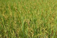 米的绿色耳朵在水稻领域的 图库摄影