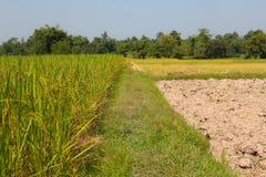 米的绿色耳朵在水稻领域的 免版税库存照片