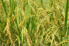 米的绿色耳朵在水稻领域的 库存照片