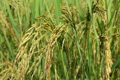 米的绿色耳朵在水稻领域的 库存图片