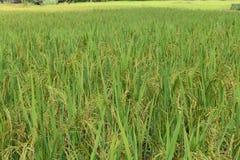 米的绿色耳朵在水稻领域的 免版税库存图片