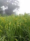 米种子在农场 库存图片