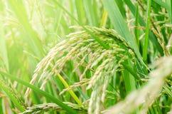 米种子成熟在领域 免版税库存图片