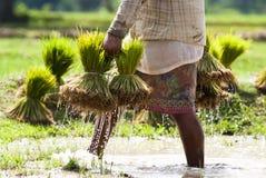米种植园在老挝 库存照片