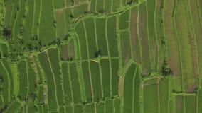 米种植园寄生虫视图 乡下领域的绿色米种植园在亚洲村庄空中风景 种田和 股票视频