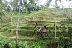 米种植园小山 库存图片