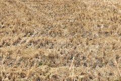 米种植园干燥茎  庄稼被收获 免版税库存图片