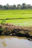 米种植园 免版税库存照片