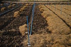 米秸杆; 覆盖树根在农业的土壤的材料 免版税库存图片