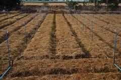 米秸杆; 覆盖树根在农业的土壤的材料 免版税图库摄影