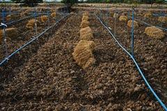 米秸杆; 覆盖树根在农业的土壤的材料 图库摄影