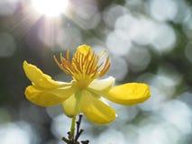 米老鼠反对阳光的花开花 库存照片