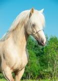 巴洛米诺马在行动的威尔士小马画象  库存图片