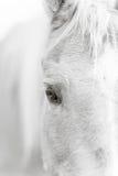 巴洛米诺马黑白马的眼睛- 免版税库存图片