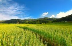米露台的领域在Chiangmai,泰国 免版税库存照片
