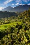 米领域和树与Mt Rinjani龙目岛,亚洲 免版税库存照片