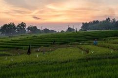 米领域在日落时间的Pererenan,巴厘岛 库存照片