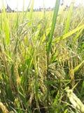 米领域在泰国 库存照片