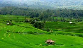 米领域在巴厘岛印度尼西亚 免版税库存图片
