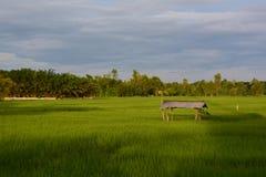 米领域生长绿色 免版税库存图片