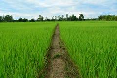 米领域生长绿色 免版税库存照片