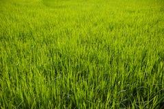 米领域的年轻粮食作物在泰国 图库摄影