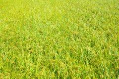 米领域的粮食作物 图库摄影