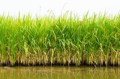 米领域的粮食作物 库存图片
